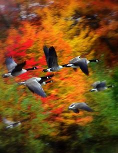 Fall, Canada Geese on wing . . . note it is discouraged to use the term Canadian Geese.