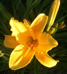 Mary Todd Daylily--big blooms Day Lilies, Bloom, Mary, Big, Plants, Planters, Plant, Planting