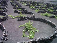 Vineyard Lanzarote