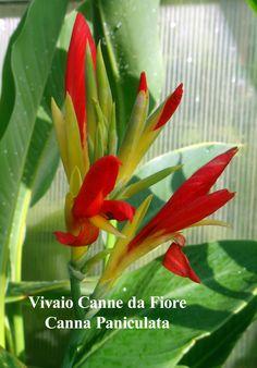 Canna Paniculata, specie alezza media folgiame allungato verde, deliziosi fiori con petali gialli e staminoidi rossi