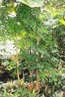 Trevisia tree