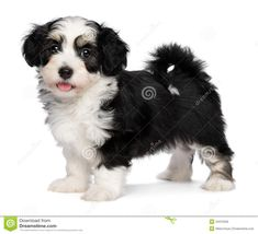 Black And White Havanese Puppy Royalty Free Stock Photography ...