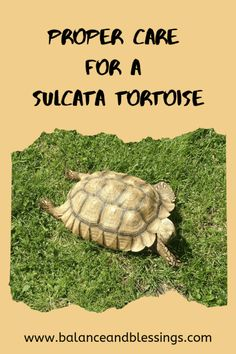 Having a Sulcata Tortoise aka Mini Dinosaur as a Pet - Balance & Blessings Tortoise House, Tortoise Food, Tortoise Habitat, Turtle Habitat, Baby Tortoise, Sulcata Tortoise, Tortoise Care, Giant Tortoise, Tortoise Shell Hair