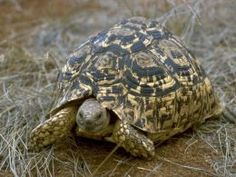 The Leopard Tortoise is originally from Central and South Africa. A full grown Leopard Tortoise will get from 16-18 inches in size and in captivity these tortoises live 100 years or more so your Leopard Tortoise is going to out live you.