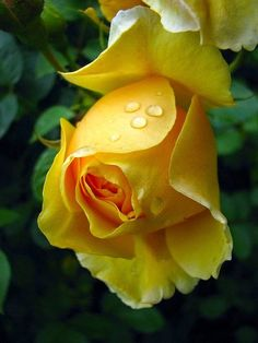 ♥ yellow rose... #flowers Get wowed with an amazing bouquet: http://www.bloomsybox.com/