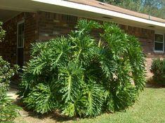 Philodendron selloum / Split Leaf Philodendron - OnlinePlantGuide.com 6000