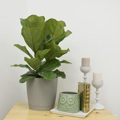 A 2-gallon Fiddleleaf Fig Planter is easier to care for! Don't forget to place it in a corner where it can receive bright light. Plastic Planter, Planter Pots, Small Space Solutions, Fiddle Leaf Fig, Potting Soil, Ficus, Houseplants, Indoor Plants, Accent Decor