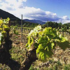 Dans les vignes du Domaine Vico on attend la véraison en appréciant la floraison ...
