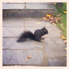 Black Squirrel by LesleyLambert, via Flickr Black Squirrel, Melanism, Albinism, Squirrels, Cats, Animals, Chipmunks, Gatos, Animales