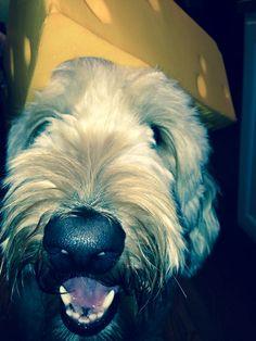 Cheesedog! #lLambeauthedog