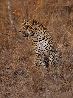 Scotia, the female leopard. South Africa Safari, Spotted Cat, Leopards, Big Cats, Tigers, Lions, Bears, Photo Galleries, Wildlife