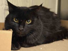 PINOT NOIR - A1048893 - - Manhattan ***TO BE DESTROYED 08/28/15*** TWO KITTENS, CABERNET AND SAUVIGNON, AND 2 YEAR OLD PINOT NOIR ARE THREE PALS WHO WERE FOUND DUMPED IN THE BRONX – AND LIKE THEIR OTHER PAL SHIRAZ FROM YESTERDAY'S LIST, IT IS THEIR TURN TO FACE THE EUTH TECH ON FRIDAY!! Sadly, these three absolutely gorgeous cats were dumped in the yard of someone in the Bronx. We can see easily by how beautiful and groomed they are that they were abandoned pe