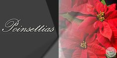 Poinsettias Design 1 - 2' x 1' Perfect for retail stores, small businesses, churches, garden centers and more! Advertise when your holiday poinsettia selections have arrived. Customization on design and size available upon request at no additional charge.  Message @SignedandZealed or visit www.signedandzealed.com for more information and to order!