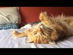 Maine coon red - Loki - YouTube
