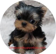 Tommy GENDER: Male PRICE:$450 AGE: 11 Weeks READY FOR NEW HOMES: Yes SHIPPING AVAILABILITY: Free (USA) BREED: Yorkshire Terrier  – Yorkie Puppy Tommy is the happiest little boy with a doll face, in fact he looks like a living