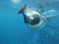 The Great White Shark ~ mostly in Australias southern oceans and found in the West, South Aust, Victoria and NSW. lives are lost every year The Great White, Great White Shark, Shark Bites, Ocean Creatures, Hai, Shark Week, Sharks, Mammals, Diving