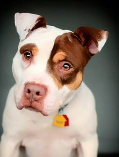 Beautiful #Pitbull #Dogs #Puppy