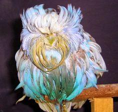 Parakeet mutation