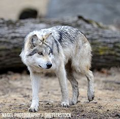 Take Action: An Incredibly Rare Subspecies of Wolf is Inching Closer to Extinction - Help Push for an Urgent Recovery Plan!