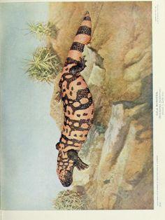 Gila monster, Nature Neighbors: Embracing birds, plants, animals, minerals, Vol V, Nathaniel Moore Banta, 1914.