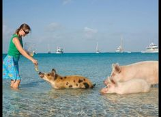 It turns out that at Big Major Spot Island in the Bahamas you can swim with wild pigs and actually feed them. In fact, these pigs are particularly friendly and can often be found relaxing and enjoying the tropical beach.