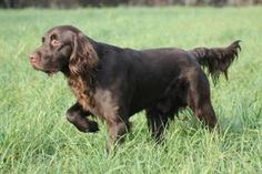 The German #Longhaired #Pointer up close