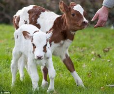 Miniature Breeds Of Cattle That Are Perfect For Small Farms Baby Farm Animals, Barnyard Animals, Baby Cows, Cute Animals, Cow Pictures, Animal Pictures, Pet Cows, Miniature Cows, Cute Baby Cow