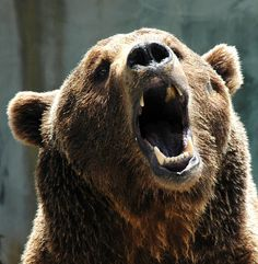 Bear Growl by armullis, via Flickr