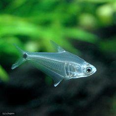 Amazon glass tetra (Phenacogaster pectinatus, Tetragonopterus pec.)