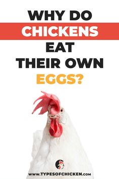 We believe that all of you have at least heard about this problem of chickens eating their own eggs or in the worst case as chicken keepers have already experienced it by watching your hens destroying their own eggs. Types Of Chickens, Pet Chickens, Raising Chickens, Keeping Chickens, Fresh Chicken, Chicken Eggs, Chicken Land, Farm Chicken, Backyard Chicken Coops