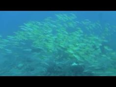 A school of mostly onespot snapper, massing over the reef at Steps off Ponta do Ouro. We swam with these fish on our recent dive trip to southern Mozambique. Us Swimming, Diving, Southern, World, School, Collections, The World, Schools, Scuba Diving