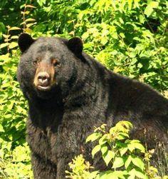 Up close and pearsonal. Bear Hunting, Black Bear, Animals, Animales, American Black Bear, Animaux, Animal, Animais
