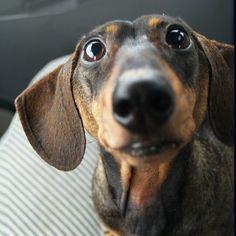 U looking at me??? #Doxie #Dachshund