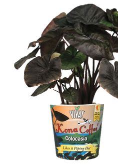 Kona Coffee #colocasia Not only does this plant have unusual deep, coffee colored foliage, but it is the only dark foliaged Elephant Ear that stays compact in a container.  Makes a bold statement in any garden or mixed container.