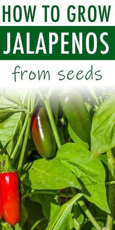 How to grow jalapenos from seed, plus how to transplant and care for the jalapeno plant in your garden. If you love hot peppers, growing jalapenos in your garden is a great idea. tips peppers How to Grow Jalapeno Peppers - Sunny Home Gardens Growing Jalapenos, Growing Peppers, Growing Tomatoes, How To Grow Jalapenos, Red Jalapeno, Stuffed Jalapeno Peppers, Jalapeno Sauce, Vegetable Gardening