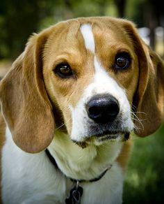 #Beagle #Scenthound #Puppy #Dogs
