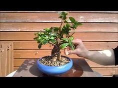 Ficus cutting of a cutting, May 2015 - YouTube