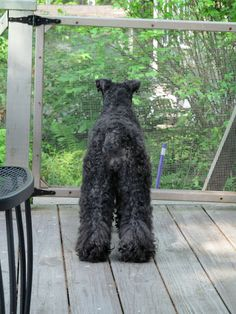 Kerry Blue Terriers: The Adventures of Buster, Persephone, Bailey & Gracie Terrier Airedale, Terrier Breeds, Terriers, Funny Animal Pictures, Funny Animals, Dog Breeds List, Just Smile, Little Dogs, Mans Best Friend