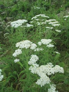 Yarrow | Wild Foods  Medicines. Heal wounds fast! Made my cat a warm compress of this for an eye infection and when I checked her out the next day, it looked like she never had been hurt. Truly amazing and I will always have it on hand in my garden. - Kristi