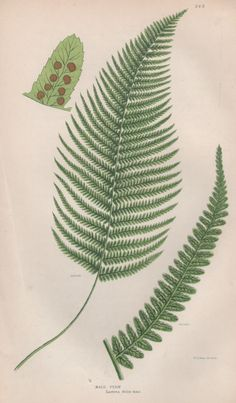 1855 Ferns Art Print Antique Botanical Illustration by Craftissimo