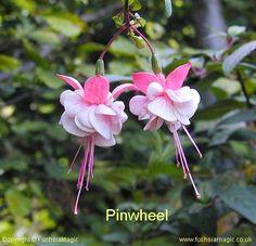 Fuchsia - Pinwheel
