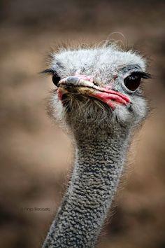 eigenwijs Happy Animals, Cute Animals, Animal Close Up, Camelus, Animal Experiences, Flightless Bird, Sculpture Projects, Big Bird, Wild Nature