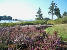 Summer heather - Hadlock Bay WA