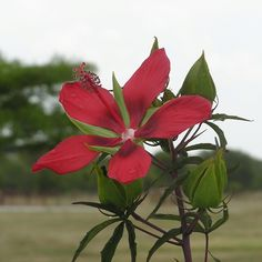 Texas Star Hibiscus doing great!