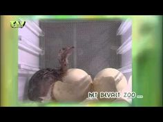 Geboorte Struisvogel - birth of an Ostrich - YouTube