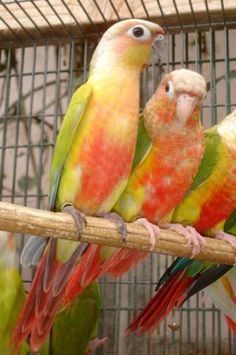 """""""American Dilute"""" Conures of The Feather Tree                                                                                                                                                                                 More"""