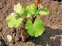 """V dubnu již vinaři """"opouštějí"""" svoje sklepy a naplno propuká práce ve vinicích. Jarní slunce už vysušilo vinorodé stráně a zahřívá půdu kolem keřů révy vinné. Rv, Pergola, Home And Garden, Herbs, Backyard, Gardening, Fruit, Plants, Garden"""