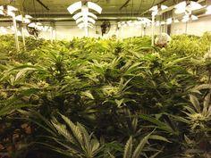Canada's Medical Marijuana Producers Are Facing Serious Advertising Restrictions Medical Marijuana, Cannabis, States Of Canada, Environmental Health, Weed, Advertising, Face, Plants, Federal
