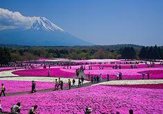More reasons to keep going back to Japan: Fuji Shibazakura festival, April to June.