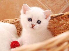 γατες περσιας χαρακτηρας - Αναζήτηση Google